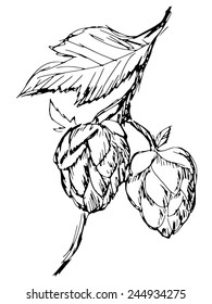 hand drawn, sketch illustration of hop