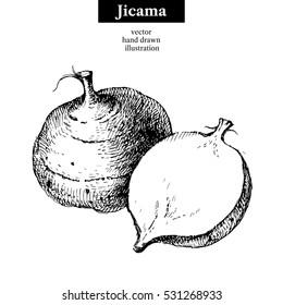 Hand drawn sketch jicama. Vector isolated vegetable food illustration