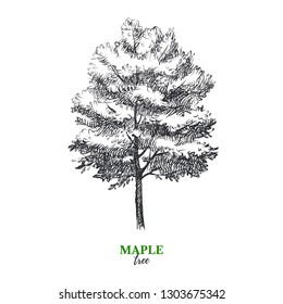 Hand drawn sketch maple tree illustration. Vector isolated vintage background