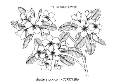 Hand drawn and sketch Plumeria flower. Black and white with line art illustration.