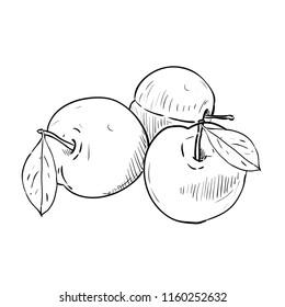 Hand drawn sketch of plums. Vintage engraved illustration. Botanical plums. Vegetarian food drawing. Vector illustration for restaurant menu design