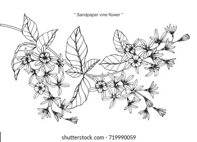 Hand drawn and sketch Sandpaper vine flower. Black and white with line art illustration.