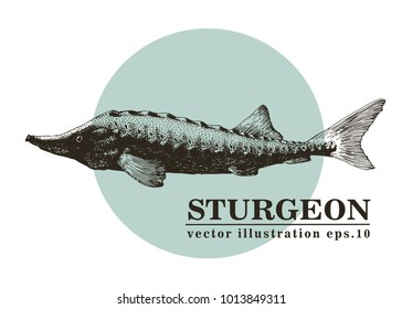 Hand drawn sketch seafood vector vintage illustration of sturgeon fish. Can be use for menu or packaging design. Engraved style. Retro illustration.