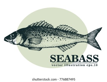 Hand drawn sketch seafood vector vintage illustration of seabass fish. Can be use for menu or packaging design. Engraved style. Retro illustration.