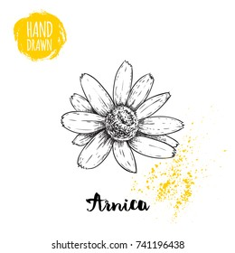Hand drawn sketch style arnica flower. Herbal medicine vector illustration isolated on white background.