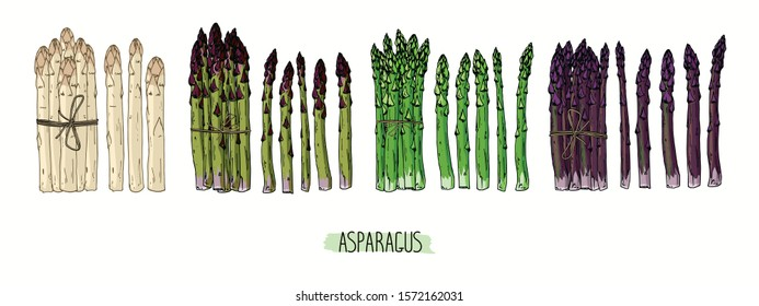 Hand drawn sketch style Asparagus set. Bundles of green, white and purple Asparagus. Color illustration.