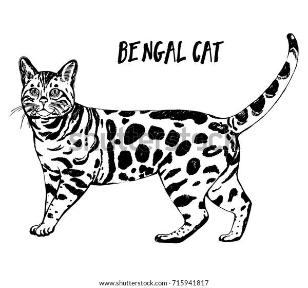 коммерческая бенгальский кот картинки раскраски для общения