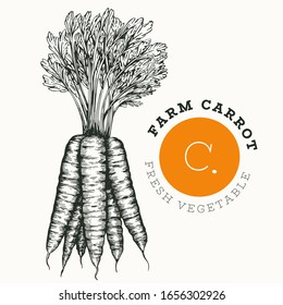 Hand drawn sketch style carrot. Organic fresh food vector illustration isolated on white background. Vintage vegetable root illustration. Engraved style botanical picture.