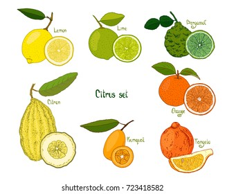 Hand drawn sketch style citrus set on white background. Lemon, lime, bergamot, citron, kumquat, orange, tangelo. Color illustration.