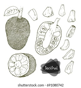 Hand drawn sketch style Jackfruit set on white background.  Vector illustration.