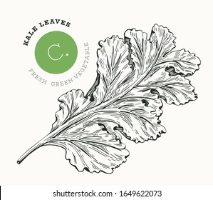 Hand drawn sketch style kale salad. Organic fresh food vector illustration isolated on white background. Retro vegetable leaf cabbage illustration. Engraved style botanical picture.