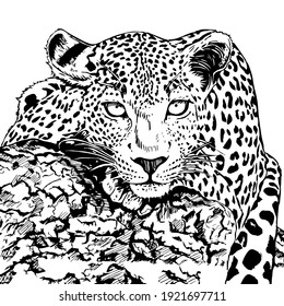 Hand drawn sketch style leopard. Vector illustration isolated on white background