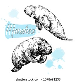 Hand drawn sketch style manatees isolated on white background. Vector illustration.