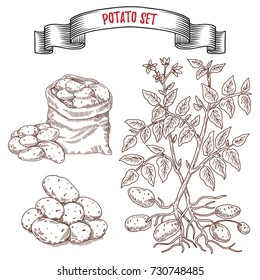 Hand drawn sketch style potatoes set,  Vegetable engraved style illustration