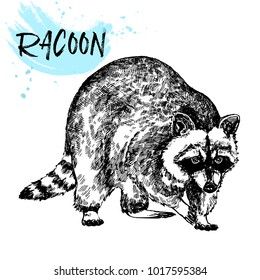 Hand drawn sketch style raccoon. Vector illustration isolated on white background.