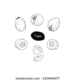 Hand drawn sketch style ripe feijoa set. Acca sellowiana. Pineapple guava. Guavasteen. Vector illustration.