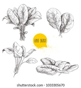 Hand drawn sketch style spinach set. Fesh farm  green leaves hand made retro illustrations. Vector artwork isolated on  white background.