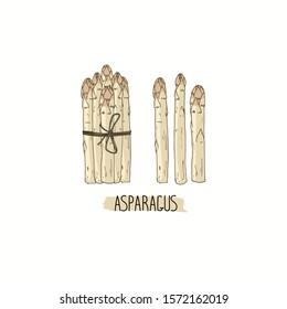 Hand drawn sketch style white Asparagus  set. Bundle of white Asparagus. Color illustration.