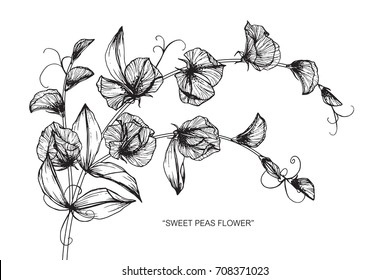 Hand drawn and sketch Sweet peas flower. Black and white with line art illustration.