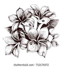 Hand drawn sketch tropical flower Plumeria. Vector illustration in the style of pointillism. Black and white line art isolated on white.