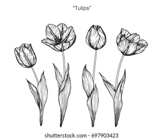 tulips sketch images stock photos vectors shutterstock