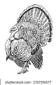 Hand drawn sketch of a turkey, vector illustration
