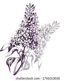 Hand drawn sketch.Blooming branch of lilac. Vector illustration. Concept of a birthday card, invitation card, happy mother's day, advertising.