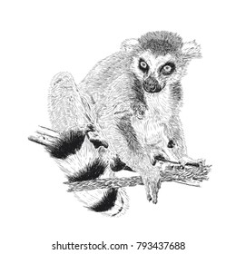 Hand drawn and sketched animal Lemur catta, vector illustration vintage