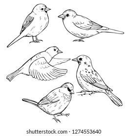 Hand drawn sparrows. Vector sketch illustration.
