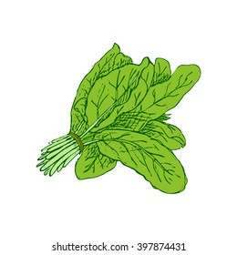 Hand drawn spinach isolated on white background. Spinach bunch. Spinach leaves. Fresh green raw plant for vegetarian nutrition, bio food concept, markets, organic meal.