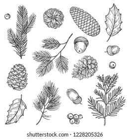 Hand drawn spruce branches and cones vector illustration. Forest elements isolated on white background