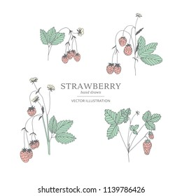 Hand drawn strawberry branches isolated on a white background. Collection of botany vector illustrations. EPS 10
