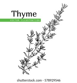 Hand drawn thyme  plant with leaves isolated on white background. Vintage  spicy herbs sketch.  Doodle cooking ingredient, seasoning.  Herbal engraved style vector illustration. Italian cuisine