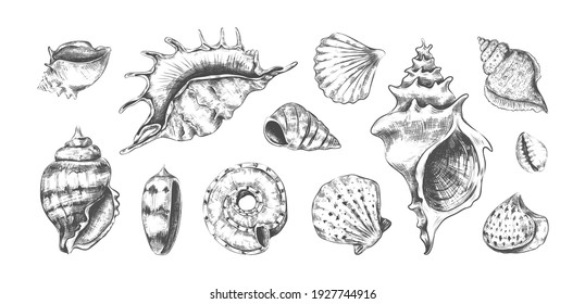 Hand drawn tropical marine seashells. Black and white graphic sketch of bivalves or spiral clamshells. Underwater inhabitants, isolated ocean cockleshells. Conch with pearls. Vector undersea fauna set