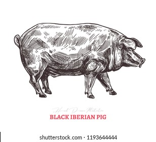 Hand drawn vector black iberian pig. Farm animal isolated on white background in sketch engraving style