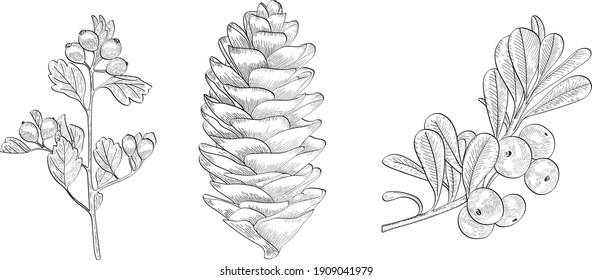 Hand drawn vector black line art. Forest pine cone and berries outline illustration. Сranberry branch.