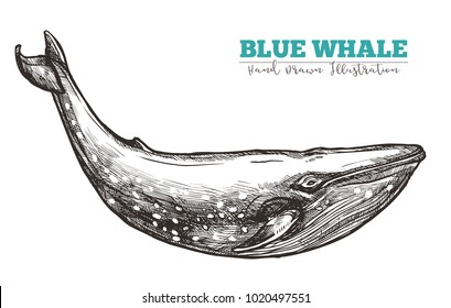 Hand drawn vector blue whale. Sketch engraving illustration