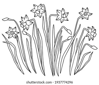 Hand drawn vector of contour daffodils. Stock illustration of black and white spring flowers.