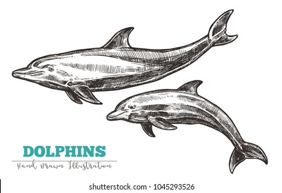 Hand drawn vector dolphins. Sketch engraving illustration of whale
