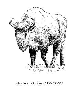 Hand drawn vector european bison. Vintage style