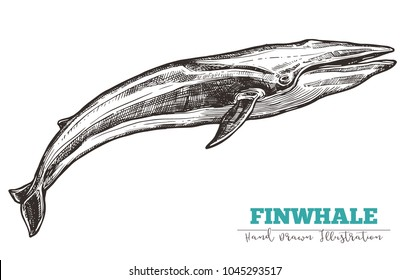 Hand drawn vector fin whale. Sketch engraving illustration of whale