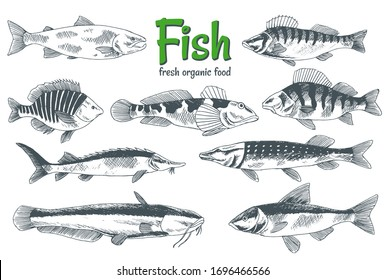 Hand drawn vector fishes. Fish and seafood products store poster. Can use as restaurant fish menu or fishing club banner. Sketch trout, carp, tuna, herring, flounder, anchovy