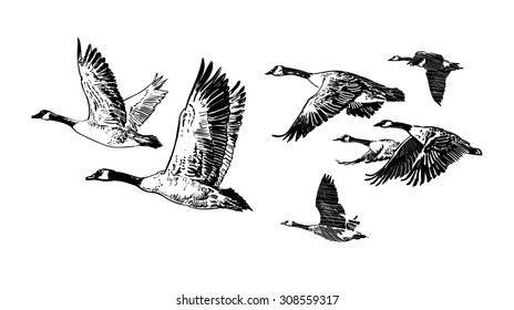 Hand drawn vector of flying flock of wild geese. Hunting club design. Tattoo