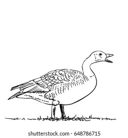 Hand drawn vector goose with open beak, Illustration isolated on white background