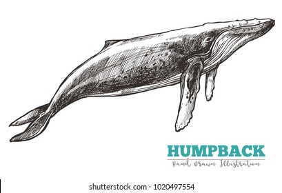 Hand drawn vector humpback whale. Sketch engraving illustration