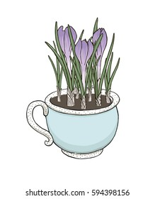 Hand drawn vector illustration of blue cup full of violet crocus flowers isolated on white background.