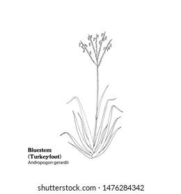 Hand drawn vector illustration of Bluestem, Andropogon gerardii, Turkeyfoot grass. Black and white drawing.