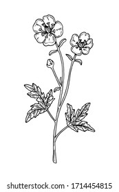 Hand drawn vector illustration of a buttercup isolated on white. Meadow plant drawing in a sketch style
