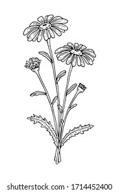 Hand drawn vector illustration of a chamomile isolated on white. Meadow plant drawing in a sketch style