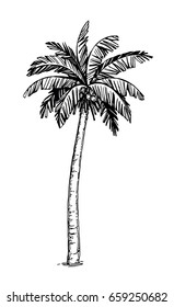 Hand drawn vector illustration of coconut palm tree. Isolated on white background. Ink sketch. Retro style.